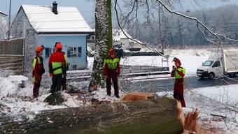 Die bereits liegende Roteiche und die mit Drahtseilen gesicherte Buche wurden gestern in Seon als letzte «Lothar»-Bäume an Seetalstrasse und Seetalbahn aus Sicherheitsgründen gefällt. Fritz Thut