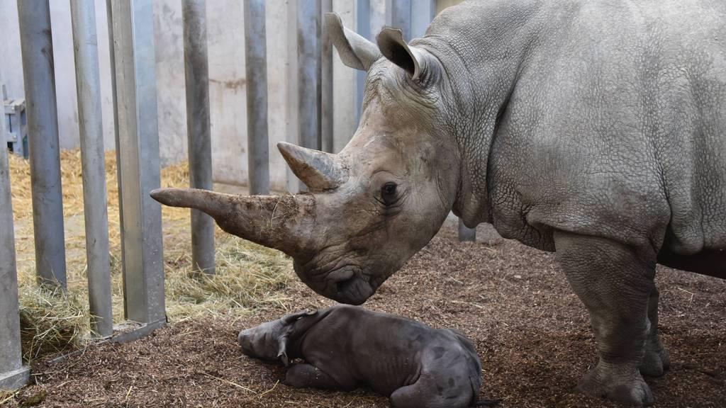 Erstes Nashorn-Baby im Zoo Zürich geboren
