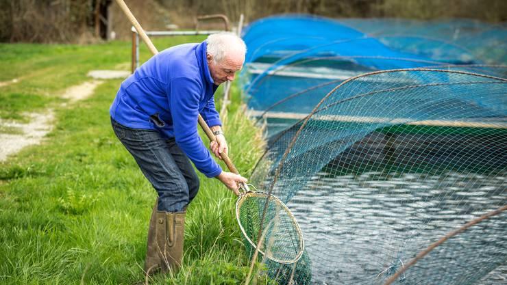 Die Fischzucht Nadler in Rohr hat Forellen gezüchtet, die es künftig wohl nicht mehr braucht.
