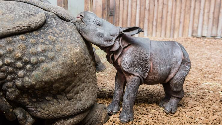 Samstagnacht, den 7. Januar, ist im Zoo Basel ein kleiner Panzernashornbulle zur Welt gekommen.