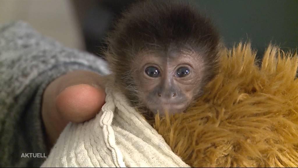 Sikypark: Grosser Ansturm wegen Affenbaby