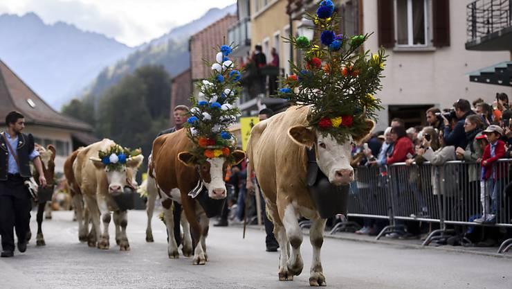 Alpabzug in Charmey: Die Kühe marschieren nach dem Sommer auf der Alp ins Tal zurück.