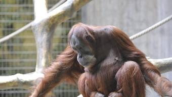 Die rothaarigen Affen kommen wieder in den Basler Zolli