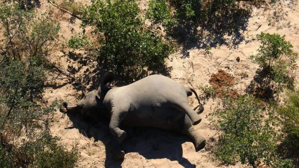 Mysteriöses Massensterben von Elefanten in Botswanas Okavango-Delta