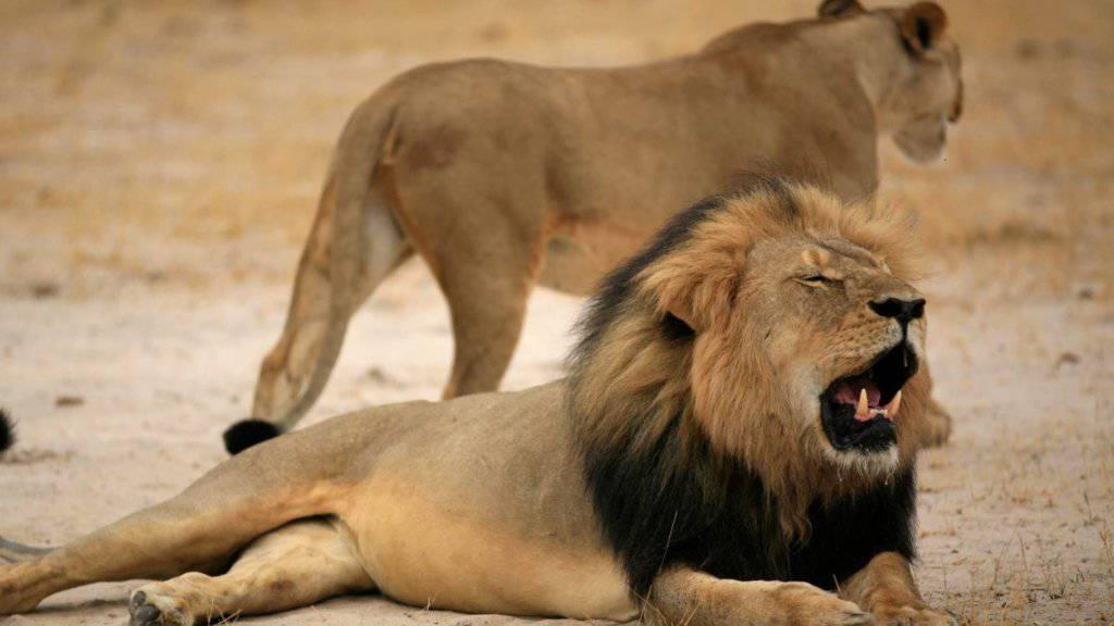 Tierischer Nationalheld in Simbabwe ist tot: Löwe Cecil von Grosswildjäger erschossen (Archivbild)