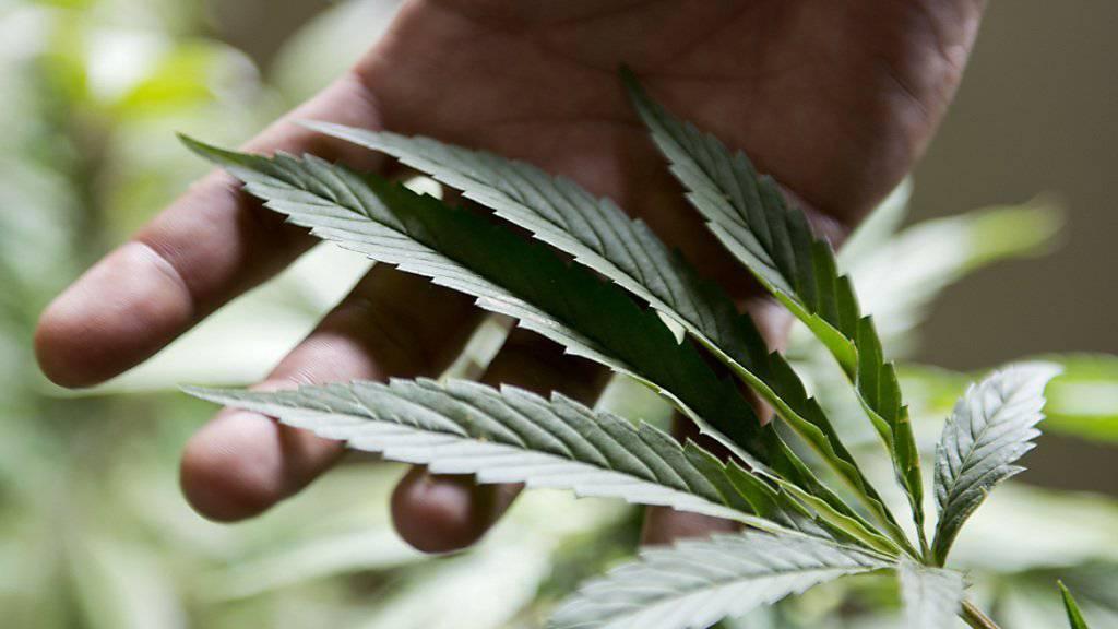 Mit der Cannabis-Pflanze hat K2 nichts am Hut: Die synthetische Droge wird häufig auf Pflanzen geträufelt und gaukelt so dem Konsumenten vor, ein nattürliches Produkt in den Händen zu halten (Symbolbild).