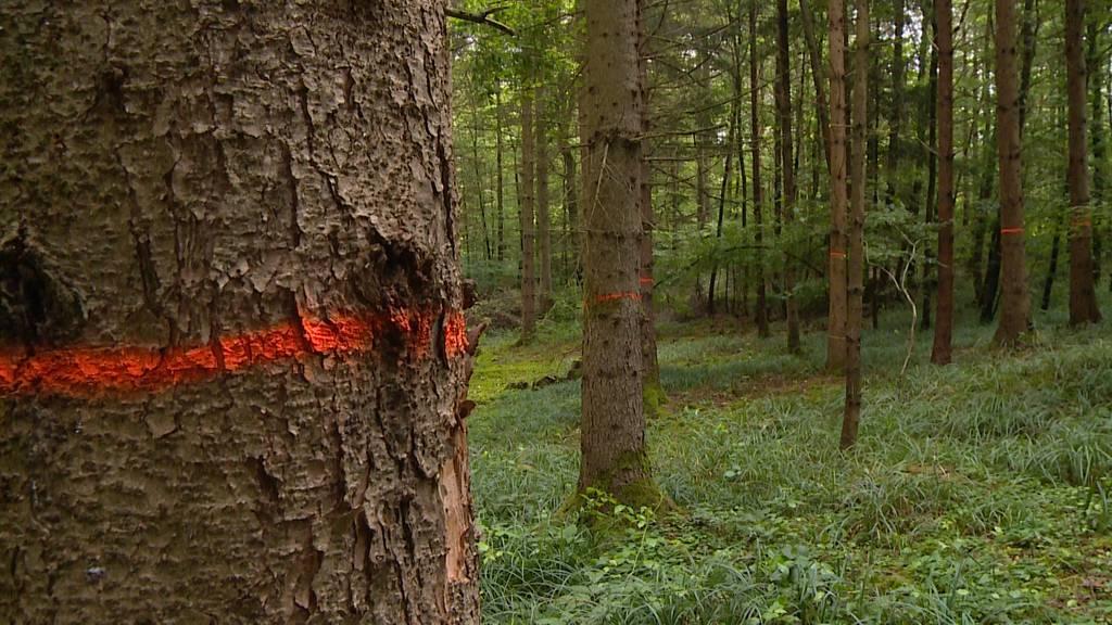 Rund 100'000 Bäume müssen wegen Borkenkäferplage gefällt werden