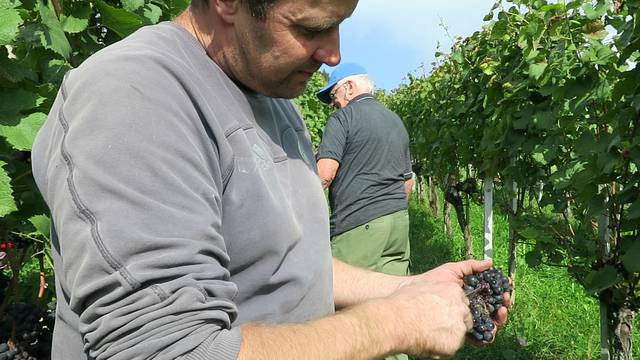 Winzer Gottlieb Werffeli zeigt, wie einzelne Traubenbeeren entfernt werden.