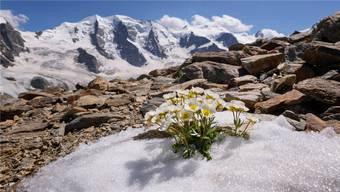 Der Gletscherhahnenfuss ist eine typische Pflanze für die europäischen Gebirge. Auch er weitet sich immer mehr in die Höhe aus.