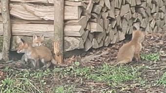 Thumb for 'Auf Abstand bleiben: Warum junge Füchse nicht ins Tierheim gehören'