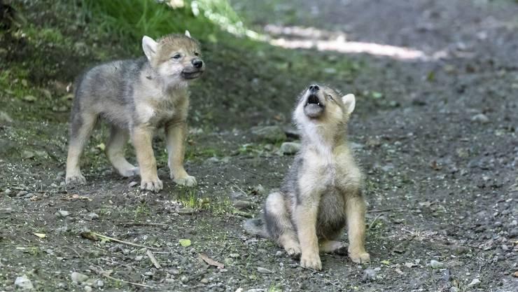 Bald ist auch ihr Heulen am Zürichberg zu hören: Zwei der vier Wolfsjungen, die am 1. Mai zur Welt kamen.