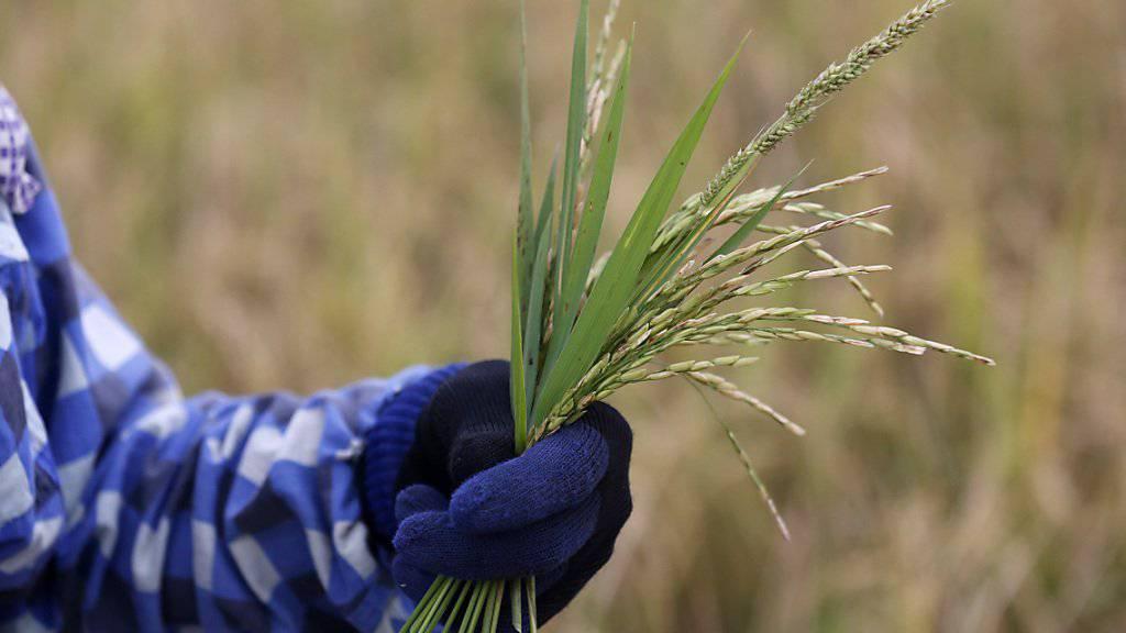 Der Reis kann wegen des Wassermangels nicht auswachsen: In knapp jeder dritten thailändischen Provinz rief die Landesregierung den Notstand aus.