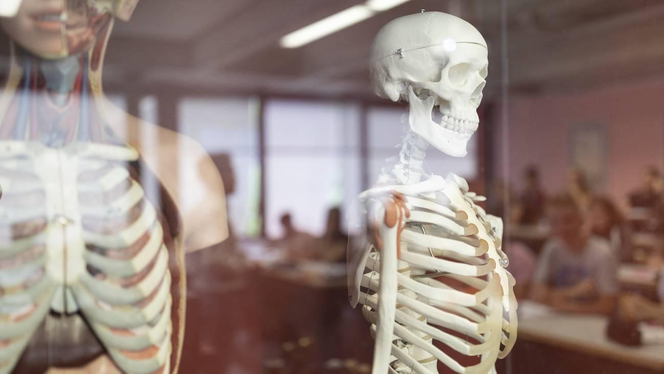 Schule Biologie Skelett