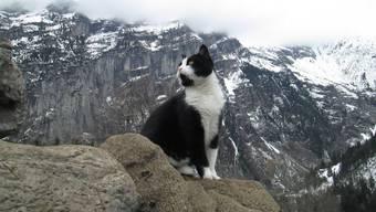 Aus Gimmelwald in alle Welt: Das Bergrettungs-Kätzchen.