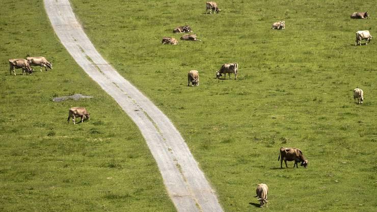 Rund 1000 Kuehe grasen auf dem Urnerboden.
