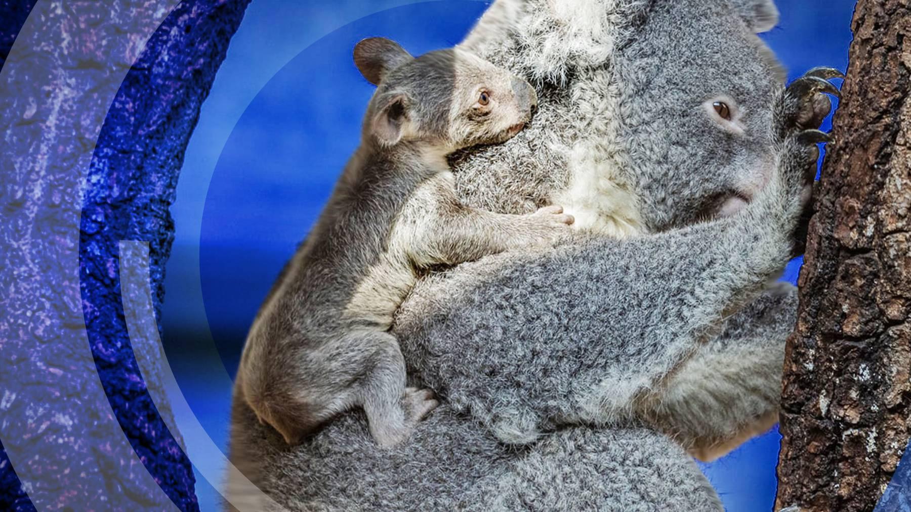 Im Zoo Zürich zeigt sich der erstmalige Koala-Nachwuchs