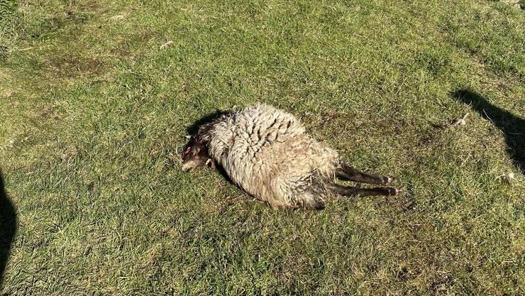 Auf einer eingezäunten Weide in Habsburg wurde ein Schaf gerissen.