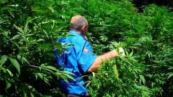 Im Umgang mit Besitzern von kleinen Mengen Cannabis zum Eigenkonsum herrscht Konfusion. Ein Tessiner Kantonspolizist bahnt sich den Weg durch eine Hanfplantage.Kantonspolizei Tessin/Keystone