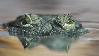 Philippinen-Krokodil im Zoo Zürich (Aufnahme aus dem Jahr 2010).