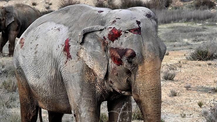 Einer der verletzten Elefanten nach dem Transportunfall auf der Autobahn bei Albacete in Spanien.