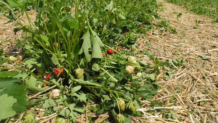«Nach dem starken Hagelschlag sind die Erdbeerpflanzen komplett vernichtet. Die Erdbeersaison 2018 ist abgeschlossen.»
