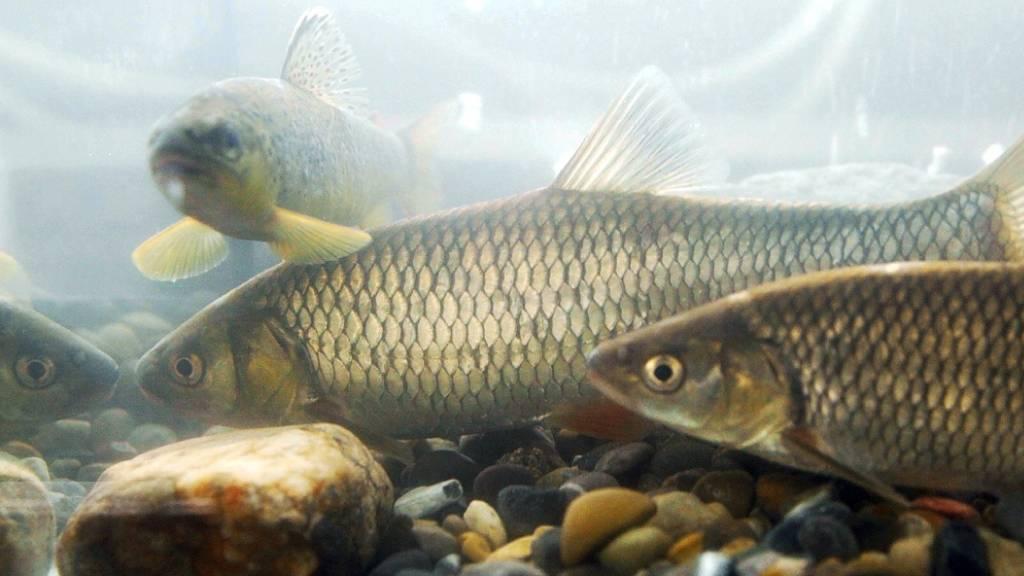 Ein Drittel aller Süsswasserfisch-Arten laut WWF weltweit gefährdet