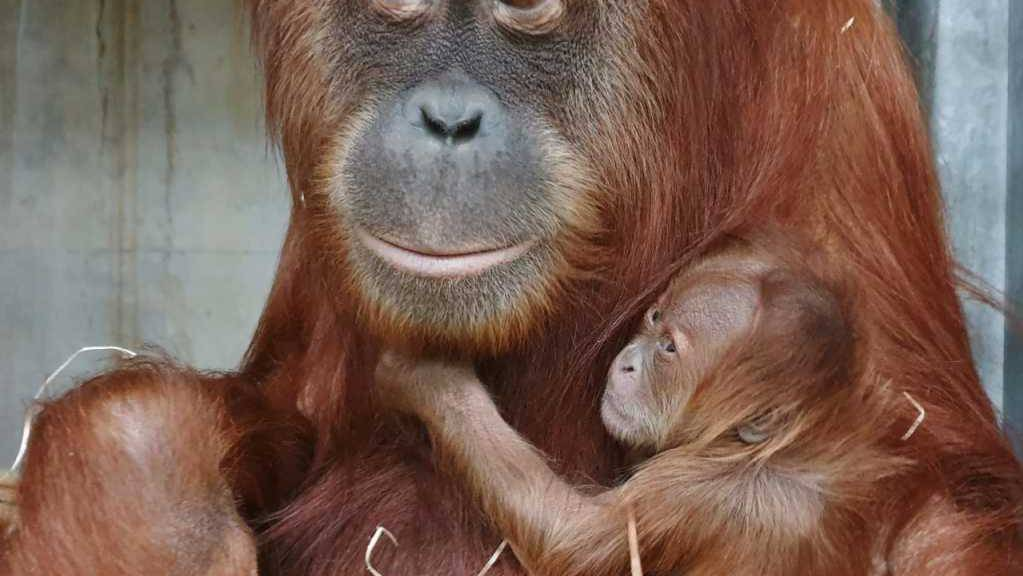 Unerwartete Schwangerschaft, unbekannter Vater: Affen-Mutter Cahaya mit ihrem jüngsten Nachwuchs Utu («Floh»).