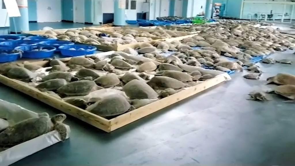 Kältewelle in Texas: Schildkröten erstarren im Meer
