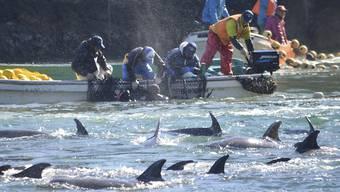 Die Tierschutzorganisation Sea Shepherd dokumentiert immer wieder die Jadgd auf Delfine oder Wale in Wort und Bild. Laut einem Bericht der Organisationen Animal Welfare Institute, Whale and Dolphin Conservation und Pro Wildlife werden jährlich rund 100'000 Delfine und Kleinwale getötet. (Archivbild)