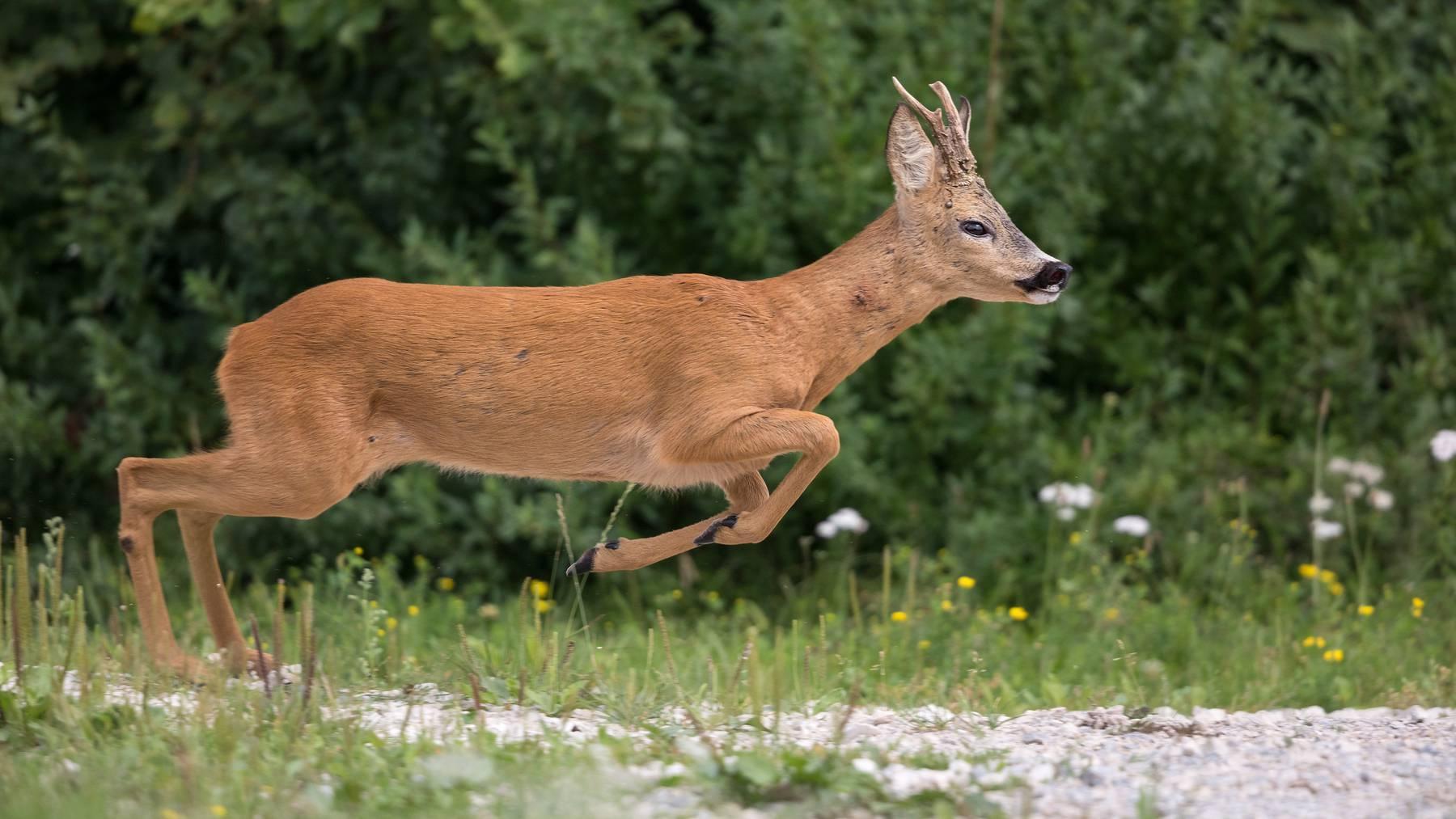 Die grösseren Wildtiere verirren sich normalerweise nicht auf die Autobahn.