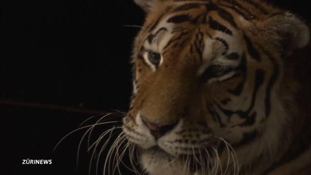 Raubtierzüglete: Wie geht es den Tieren im neuen Park?