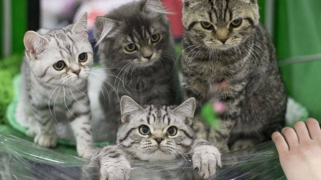 Zürcher Forscher entwickeln Impfstoff gegen Katzenhaar-Allergie