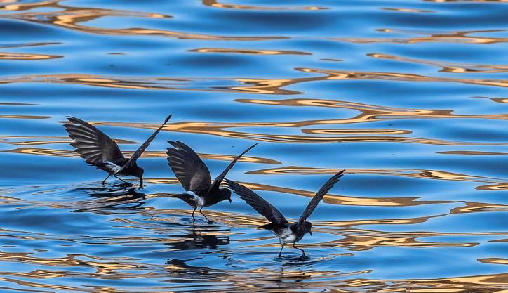 Elliot-Sturmschwalben sind etwa 15 Zentimeter lang und haben eine Flügelspannweite von gegen 36 Zentimetern.