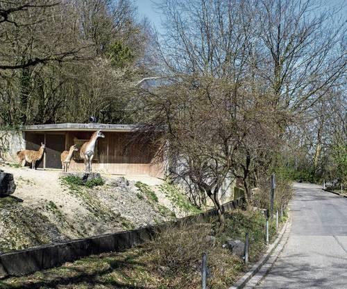 Die Tiere im Zoo Zürich müssen sich einige Zeit gedulden, bis wieder Besucher kommen.