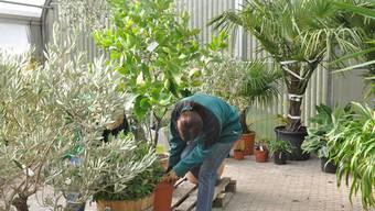 Da in der Nacht mit frostigen Temperaturen zu rechnen ist, werden im Gartencenter Kaufmann in Zeiningen bestimmte Pflanzen auf die Überwinterung vorbereitet. dvk
