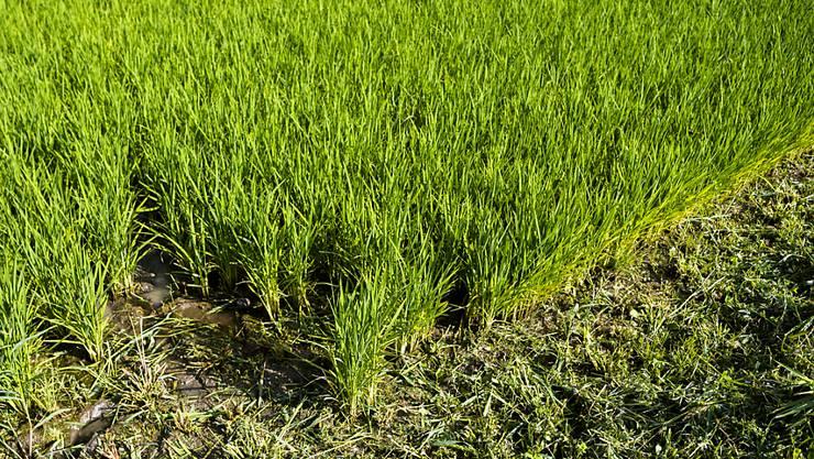 Reiskulturen schaffen Feuchtgebiete, die für die Biodiversität wichtig sind.