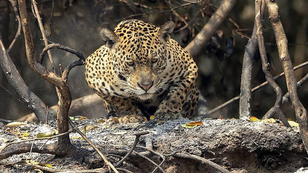 Ein Jaguar kauert in einem Gebiet, das vor kurzem durch Waldbrände im Staatspark Encontro das Aguas im Pantanal-Feuchtgebiet in der Nähe von Pocone verbrannt ist. Foto: Andre Penner/AP/dpa
