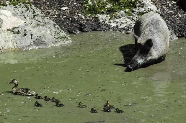 Auch die Wildschweine suhlen sich gern im Schlamm. Dabei gibt es manchmal auch weitere Badegäste.