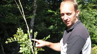 Urs Steck, Leiter der Abteilung Wald und Landschaft der Gemeinde Möhlin, zeigt ein pilzbefallene, junge Esche.