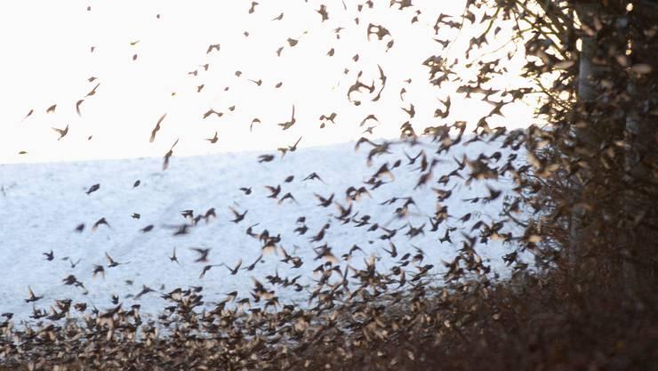Ein ganz besonderes Spektakel bietet sich dem Beobachter, wenn in den Wintermonaten eine Million Bergfinken bei Siglistorf den Schlafplatz aufsucht. (wal)