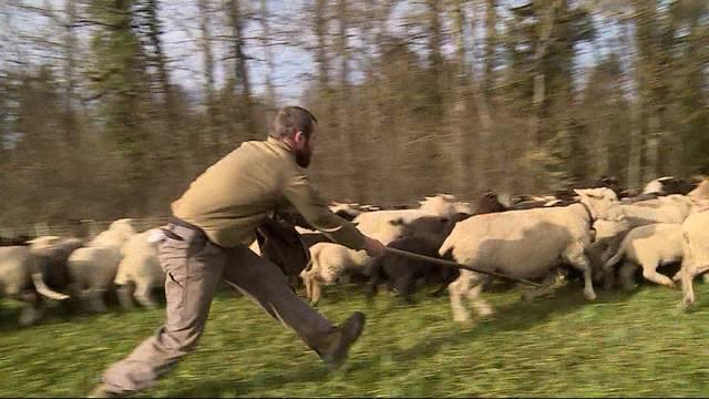 300 Schafe ziehen durch den Aargau