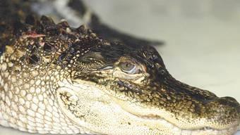 Besser nicht auf Meth: Die Polizei in Tennessee warnt vor Alligatoren unter Drogen.
