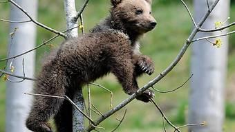Hält der Bärennachwuchs schon Ausschau nach einer neuen Heimat?