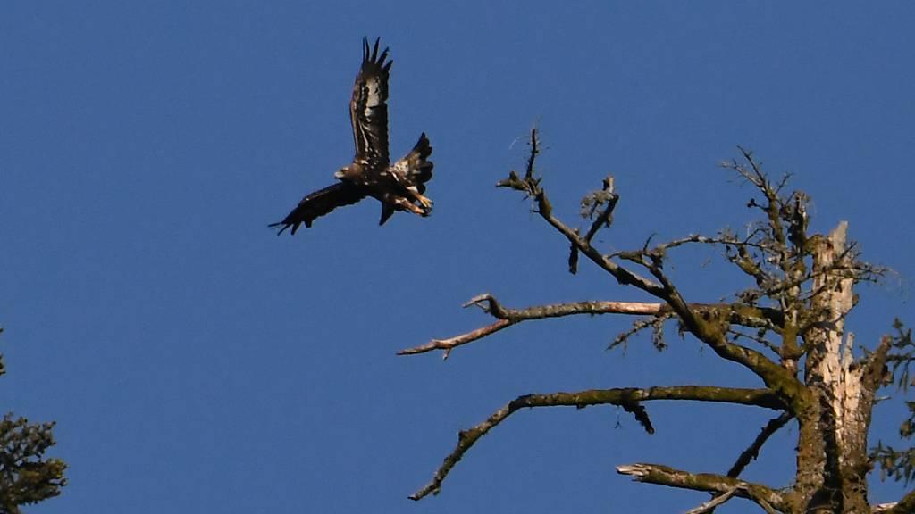 Auf breiten Schwingen erhebt sich der Jungadler in die Luft.