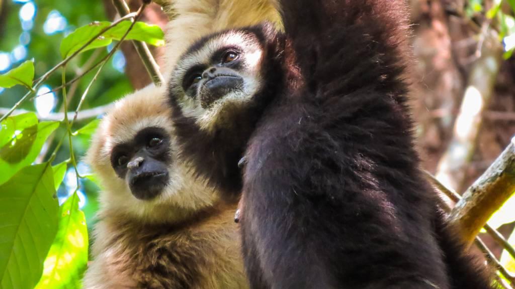 Gibbons warnen singend vor Raubtieren