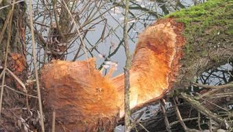 «An dieser grossen Weide musste der Biber wohl zwei Nächte arbeiten», sagt die Projektleiterin des Kies- und Betonindustrieverbandes.