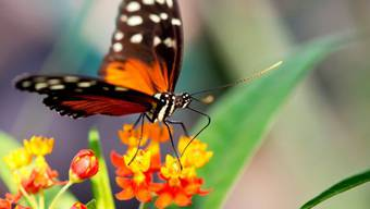 Ein Schmetterling in einem botanischen Garten (Archiv)