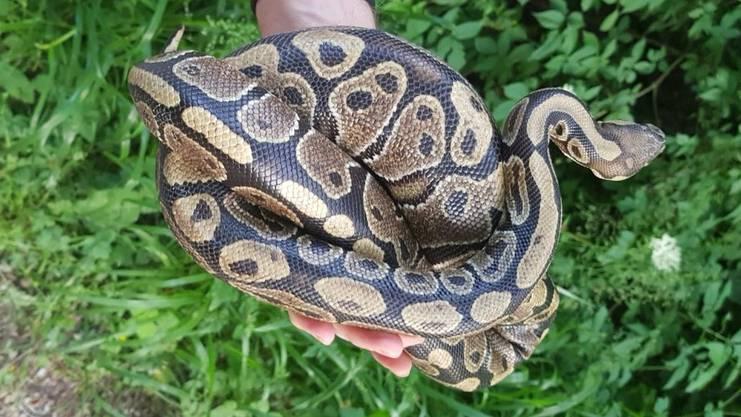 Vor einem Monat wurde die Python in Lengnau gefunden.