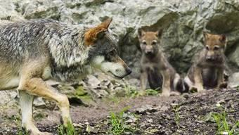 Wölfe in einem Tierpark: Die Raubtiere bleiben geschützt (Archiv)