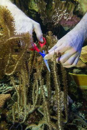 Ein Schwerpunkt im «Seacliff» werden die Korallenriffe sein.